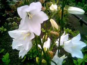 Кампанелла цветок фото