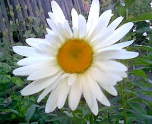 фото нивяник цветок